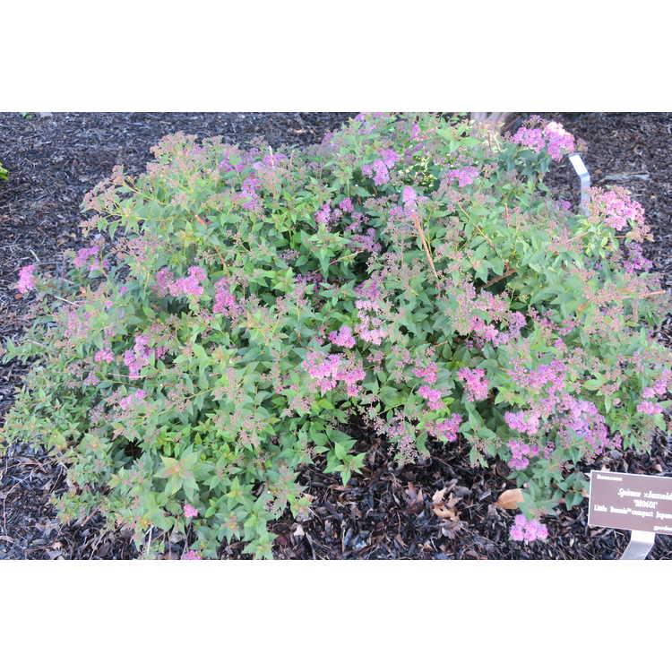 Spiraea ×bumalda 'Bl0601' - Little Bonnie compact Japanese spirea