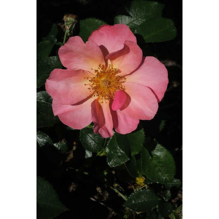 Rosa 'Bairage' - Easy Elegance All the Rage shrub rose