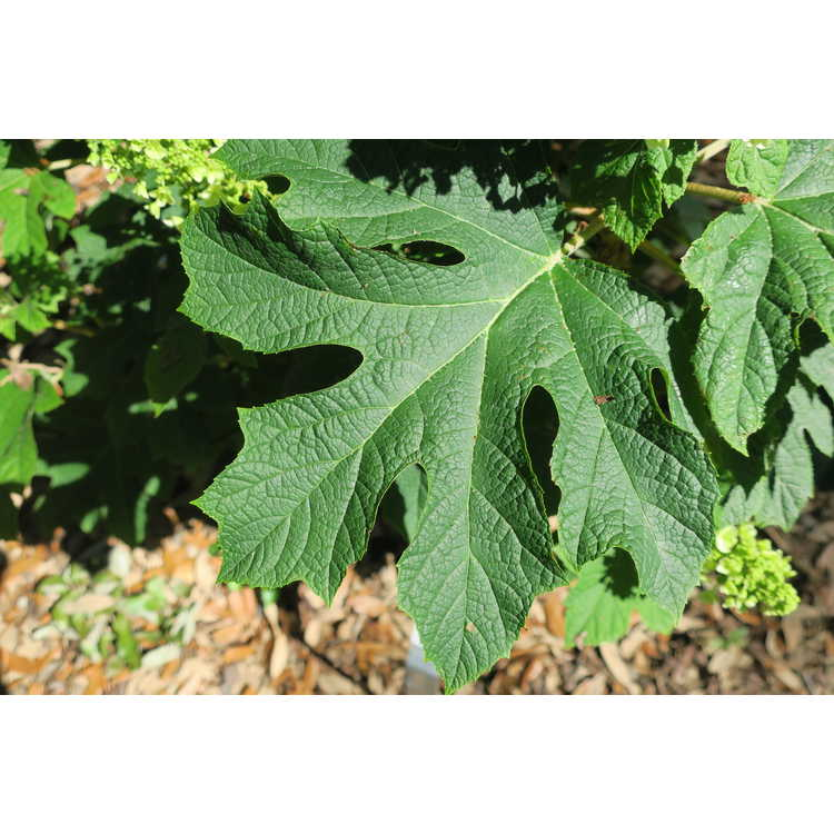 Hydrangea quercifolia 'Piihq-I' - First Editions Jetstream compact oakleaf hydrangea