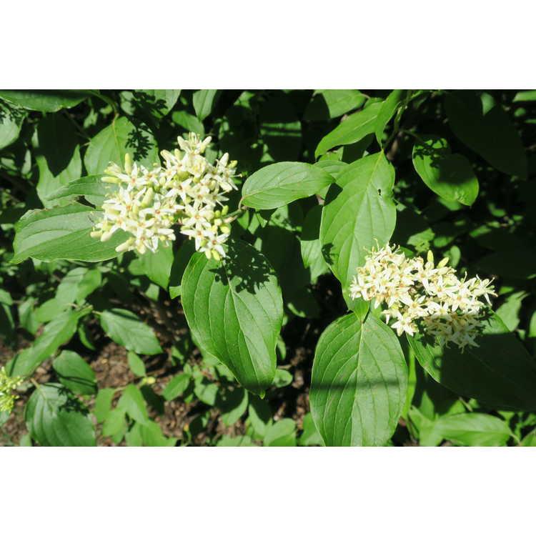 Cornus amomum subsp. obliqua - silky dogwood