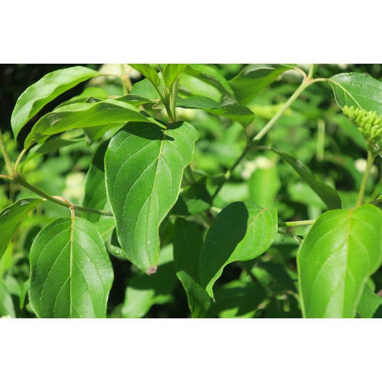 Cornus amomum subsp. obliqua