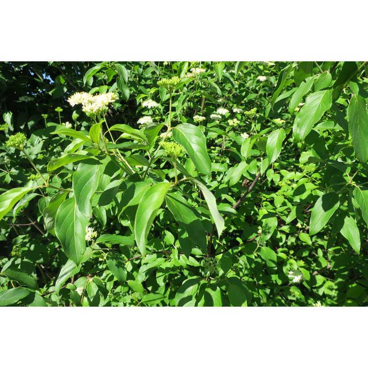 Cornus amomum obliqua