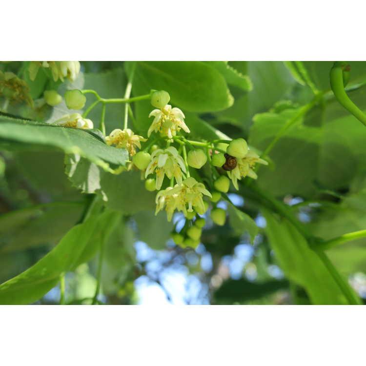 Tilia oliveri