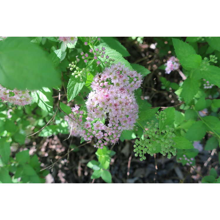 Spiraea japonica Thumbelina