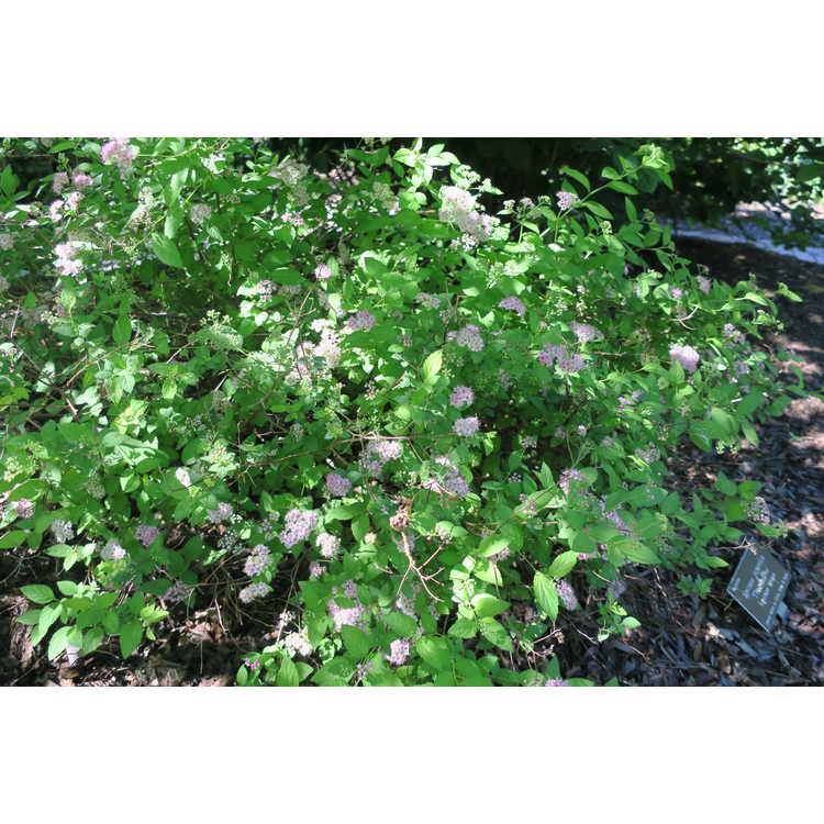 Spiraea japonica 'Thumbelina' - Japanese spirea