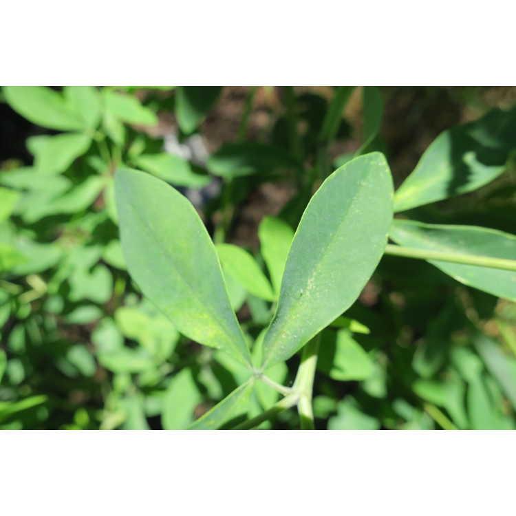 Baptisia alba × B. australis - hybrid wild-indigo