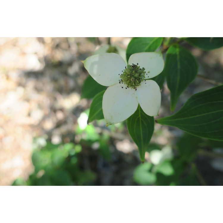 Cornus kousa 'Madison' - Crown Jewel kousa dogwood