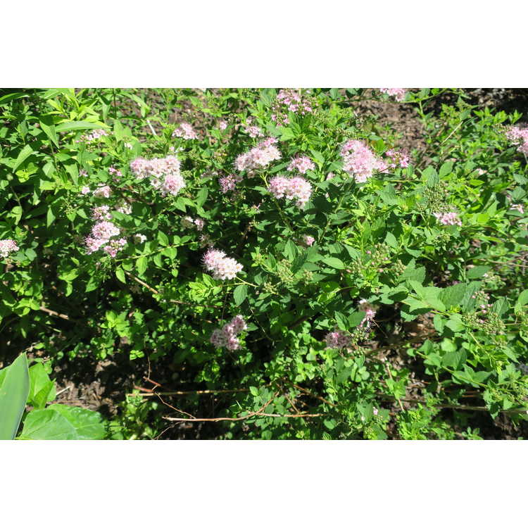 Spiraea japonica 'Little Princess' - Japanese spirea