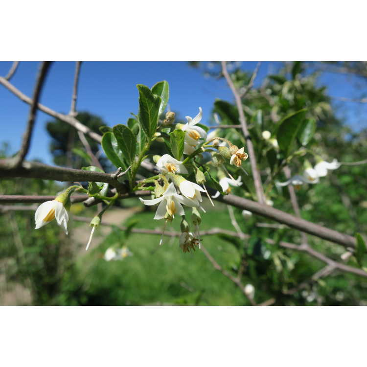 Styrax japonicus Lady Bell