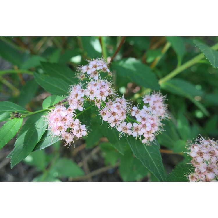 Spiraea japonica Norman