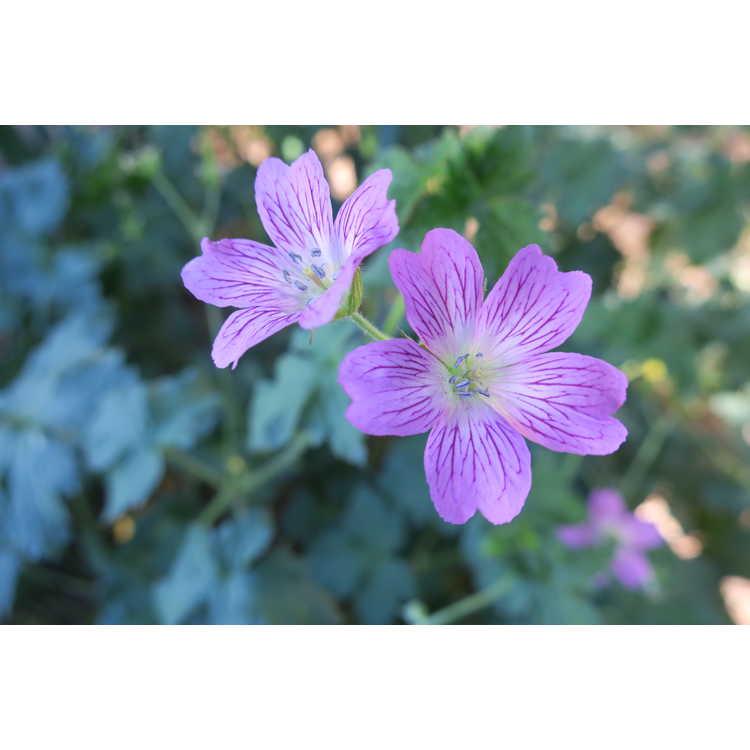 Geranium ×oxonianum - hardy geranium