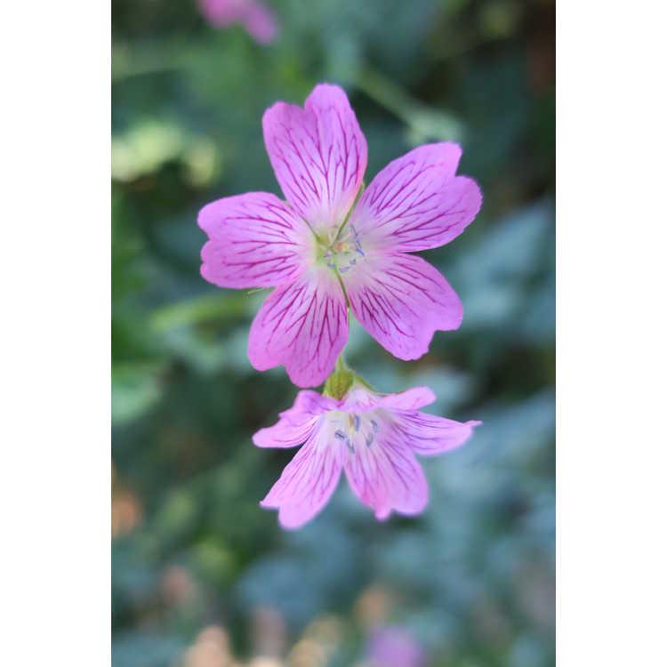 Geranium ×oxonianum