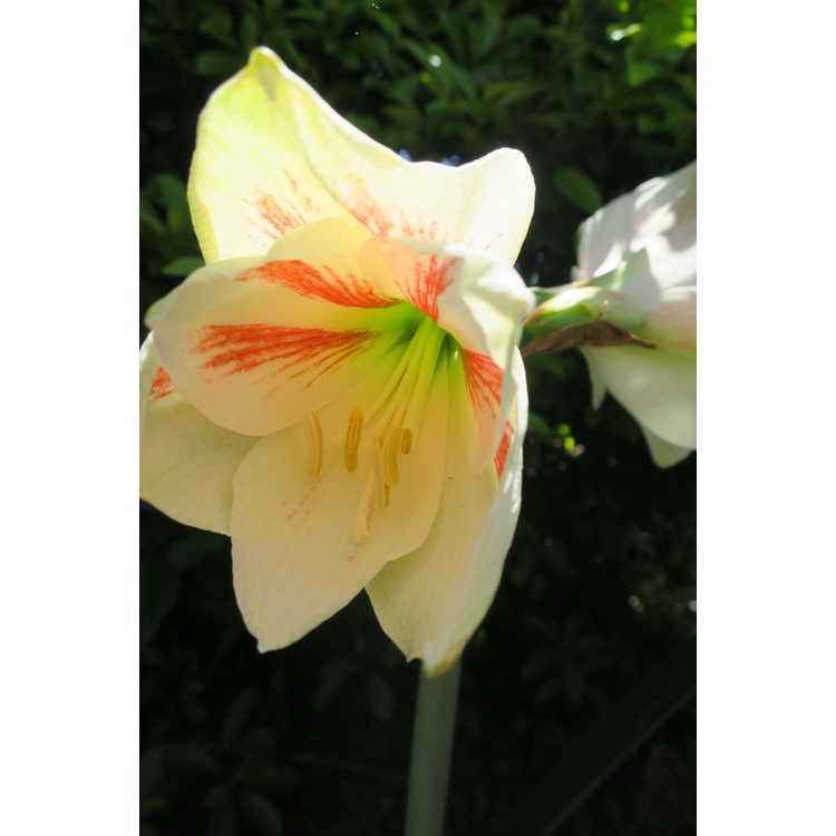 Hippeastrum 'United Nations' - garden amaryllis