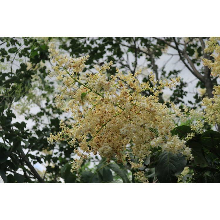 Syringa reticulata subsp. amurensis - Amur tree lilac