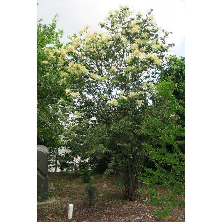 Syringa reticulata subsp. amurensis