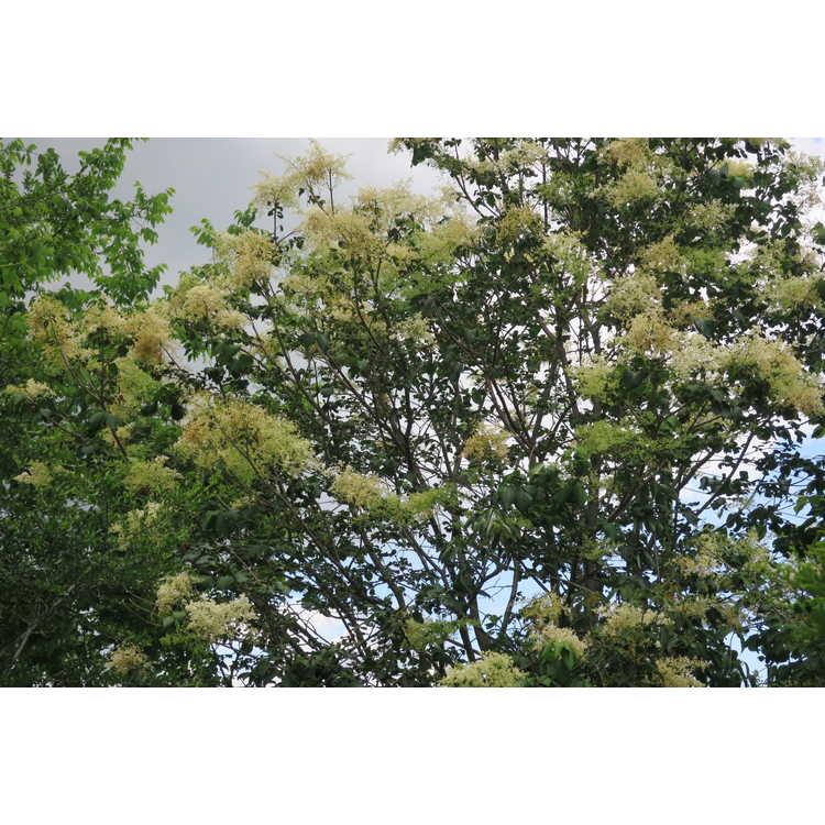 Syringa reticulata amurensis