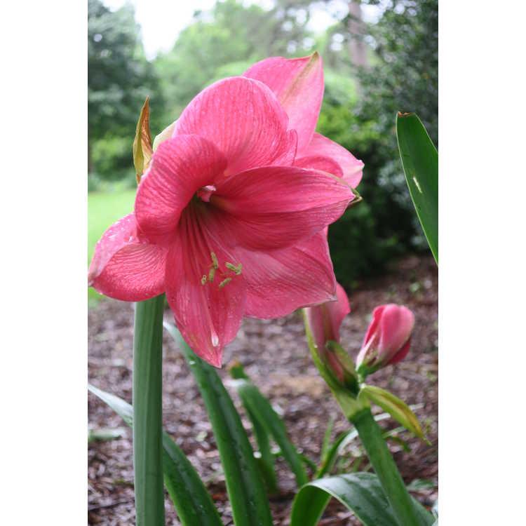 Hippeastrum 'Milady' - garden amaryllis