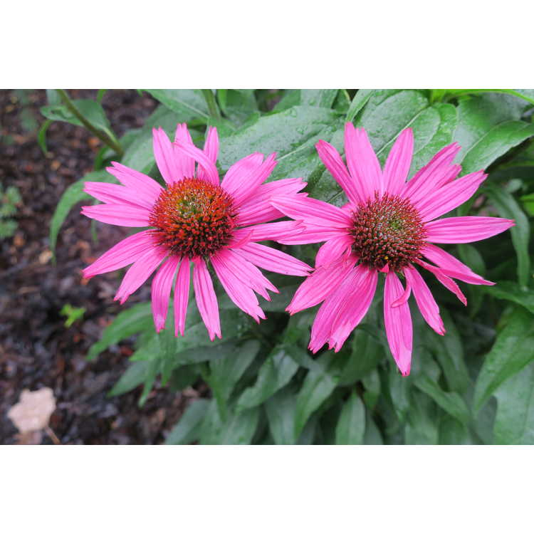 Echinacea 'Glowing Dream'