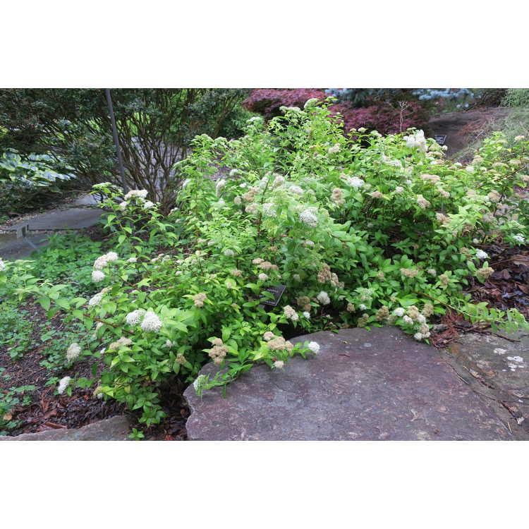 Spiraea japonica 'White Gold' - Japanese spirea