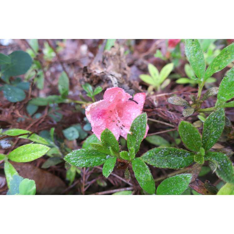 Rhododendron 'Pink Pancake' - North Tisbury hybrid azalea