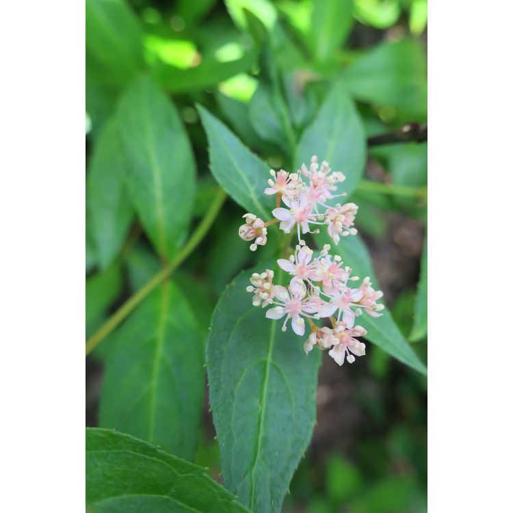 Hydrangea luteovenosa 'Iyo-no-samidare' - sweet hydrangea
