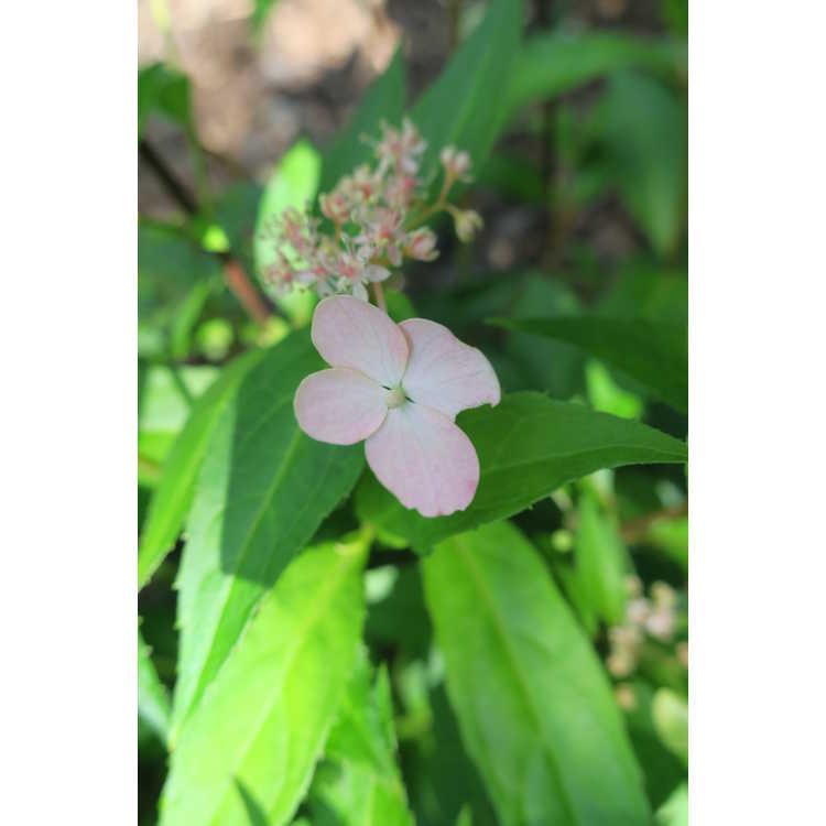 Hydrangea luteovenosa Iyo-no-samidare