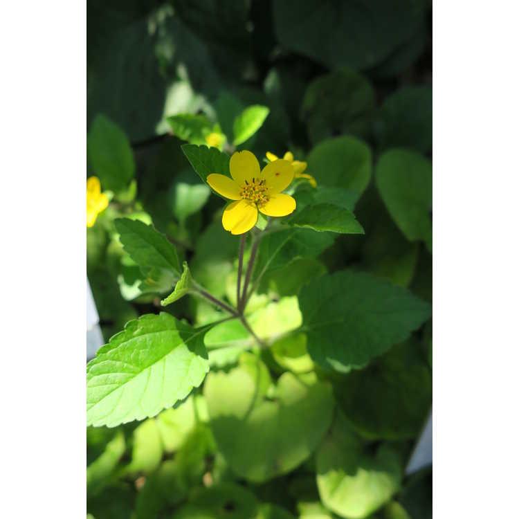 Chrysogonum virginianum Allen Bush