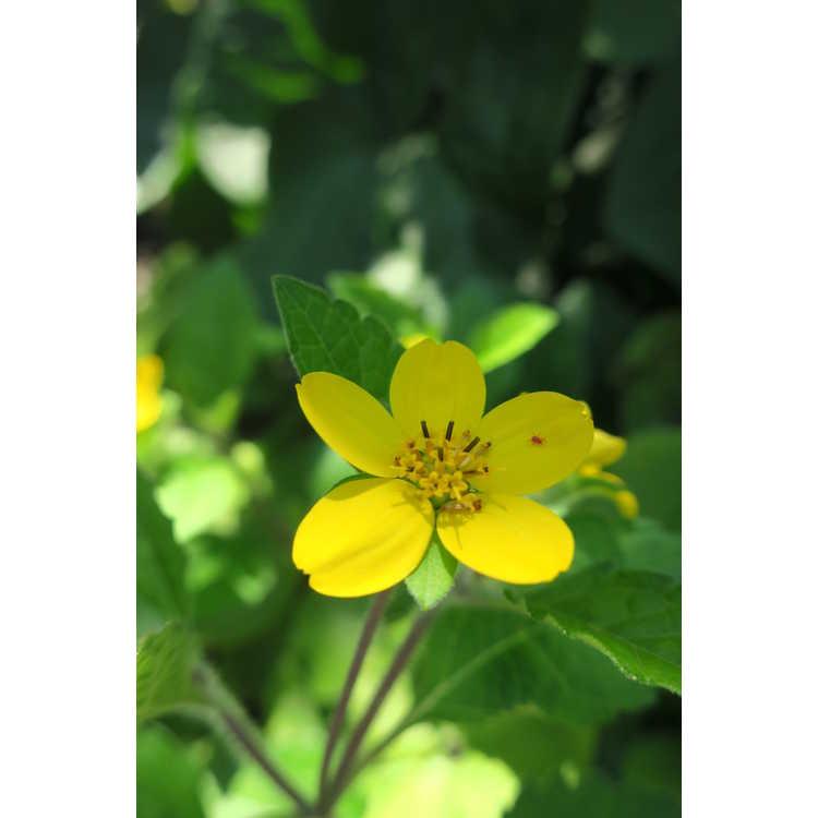 Chrysogonum virginianum 'Allen Bush'