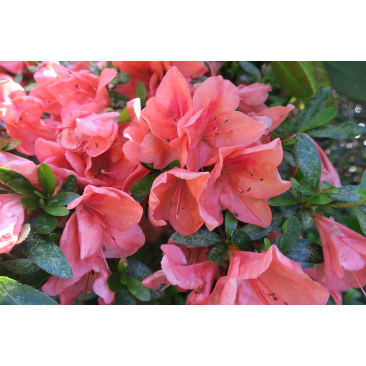Rhododendron Pink Cascade