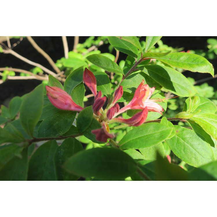 Rhododendron Liz Colbert