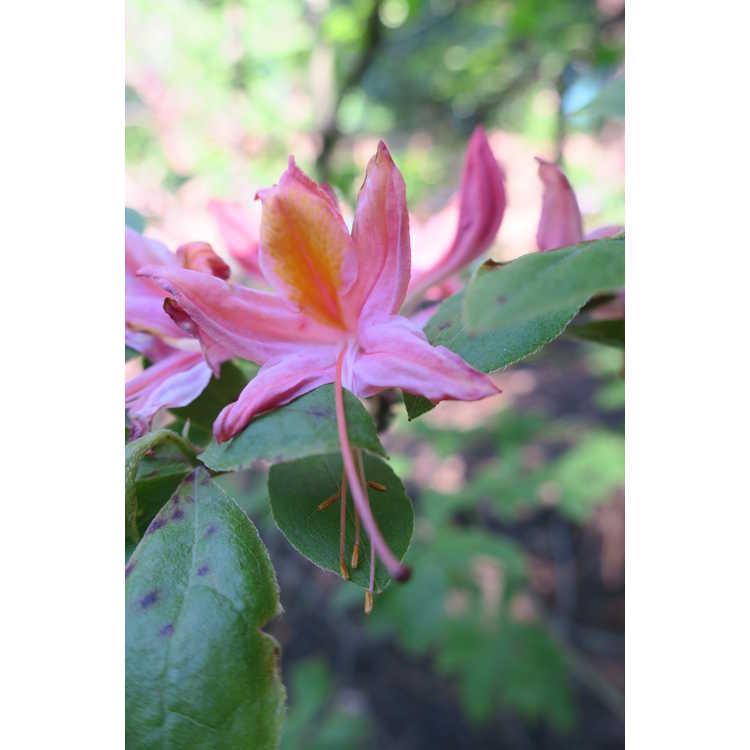 Rhododendron 'Liz Colbert' - Aromi hybrid azalea