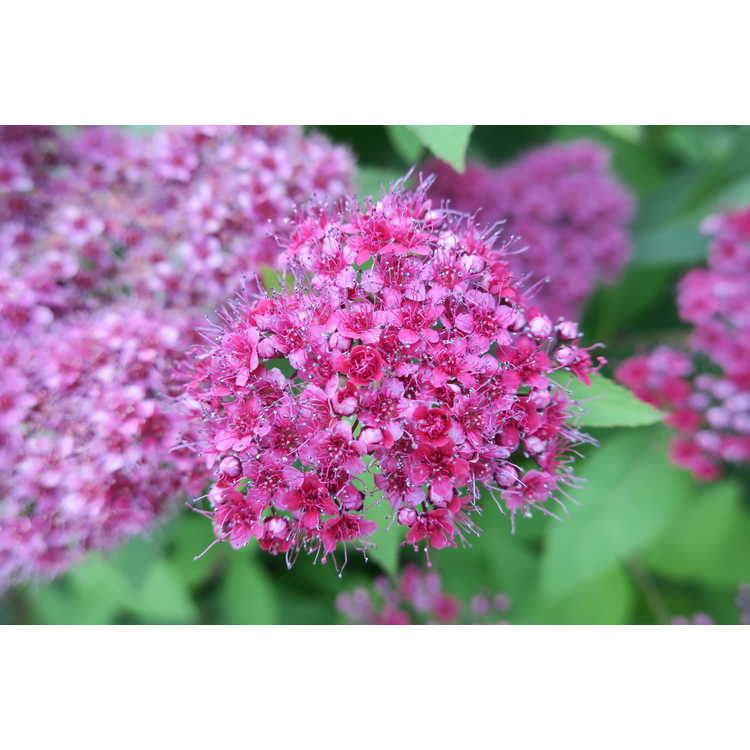 Spiraea japonica Smnsjmfr Double Play Red