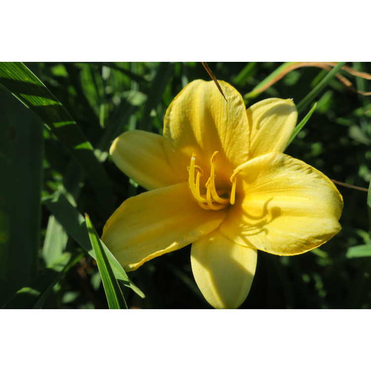 Hemerocallis Stella de Oro