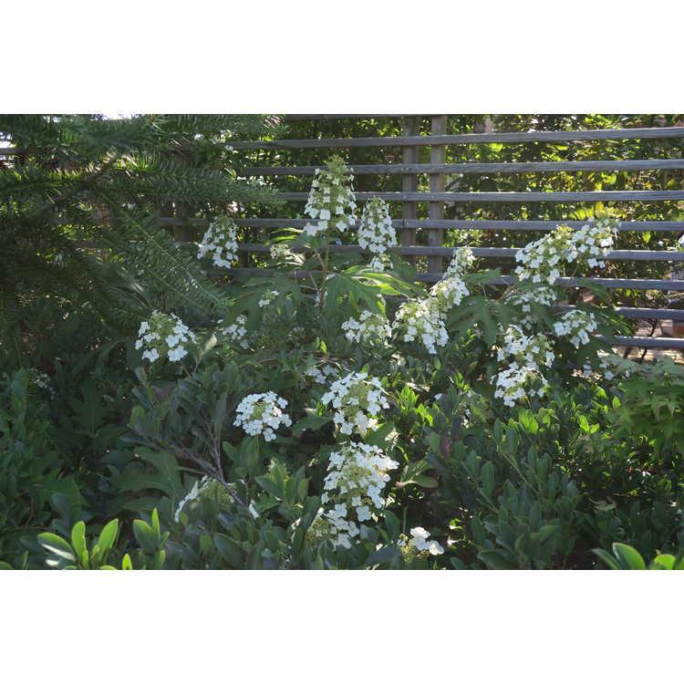 Hydrangea quercifolia 'Ice Crystal' - oakleaf hydrangea