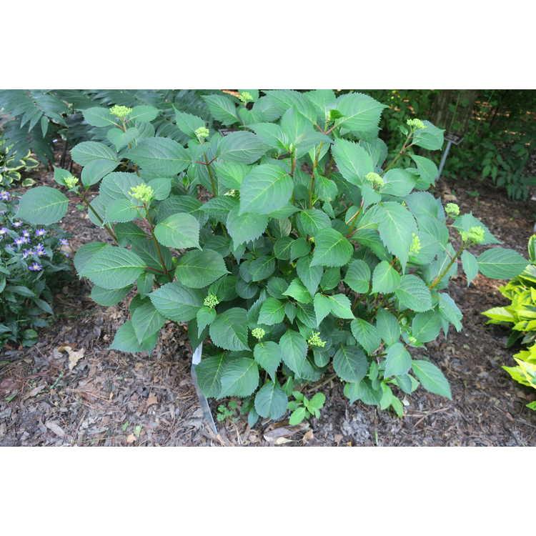 Hydrangea 'After Midnight' - mophead hybrid hydrangea
