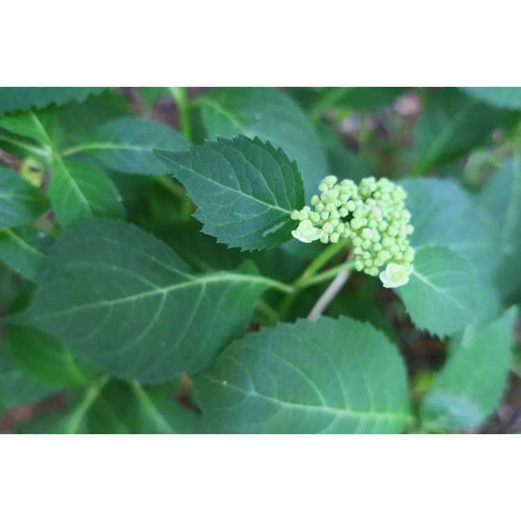 Hydrangea serrata 'Annie's Blue' - Japanese hydrangea