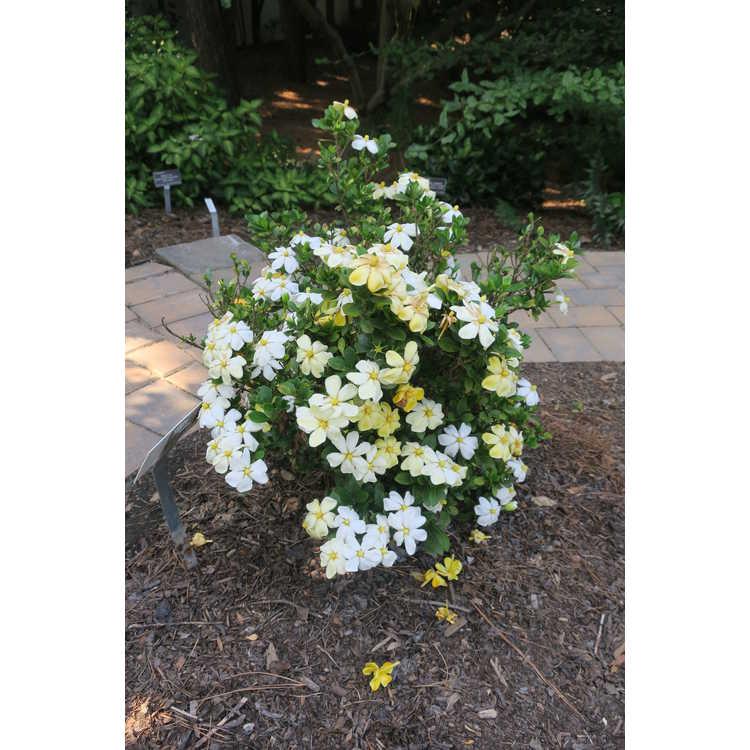 Gardenia jasminoides Madga 1 Heaven Scent