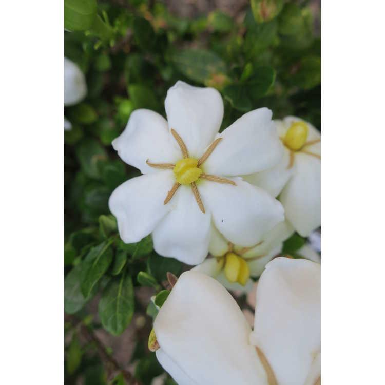 Gardenia jasminoides 'Madga 1'