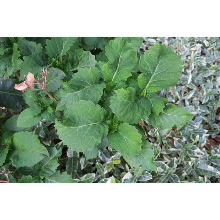 Hydrangea macrophylla var. normalis 'Nickanyana' - bigleaf hydrangea