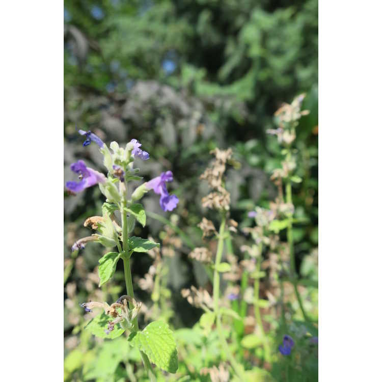 Nepeta 'Limelight' - catmint