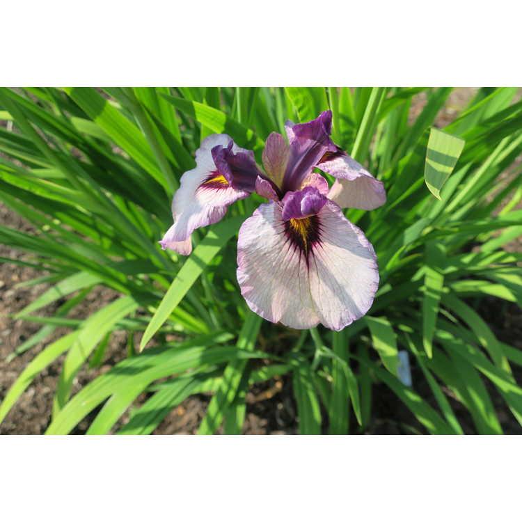 Iris 'Kurokawa-Noh' - pseudata iris