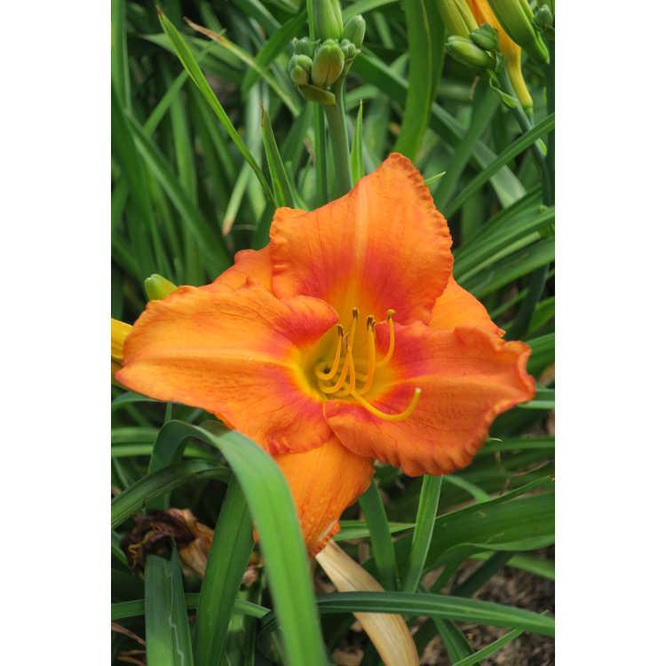 Hemerocallis Leebea Orange Crush