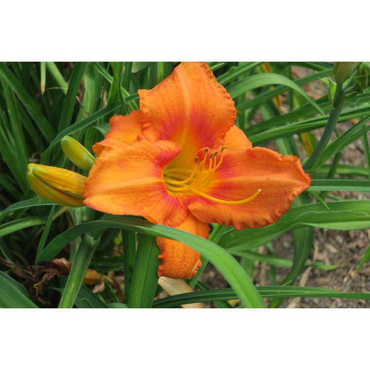 Hemerocallis Leebea Orange Crush