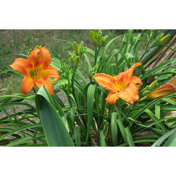 Hemerocallis 'Leebea Orange Crush' - daylily