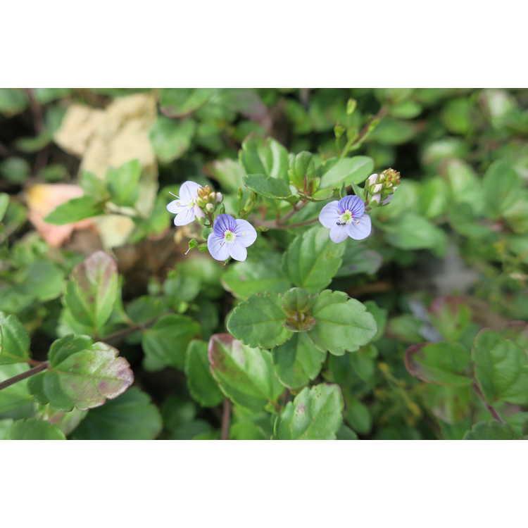 Veronica 'Waterperry Blue'
