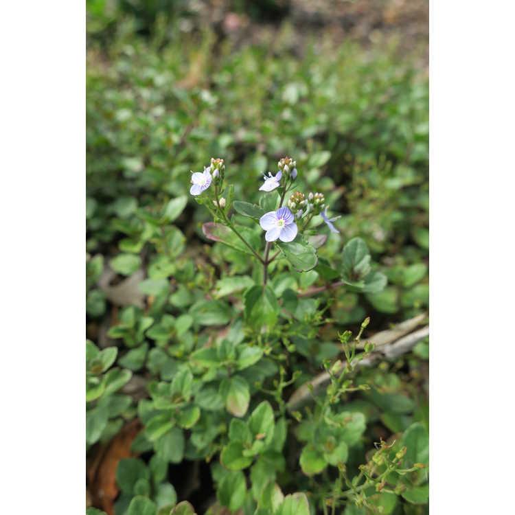 Veronica Waterperry Blue
