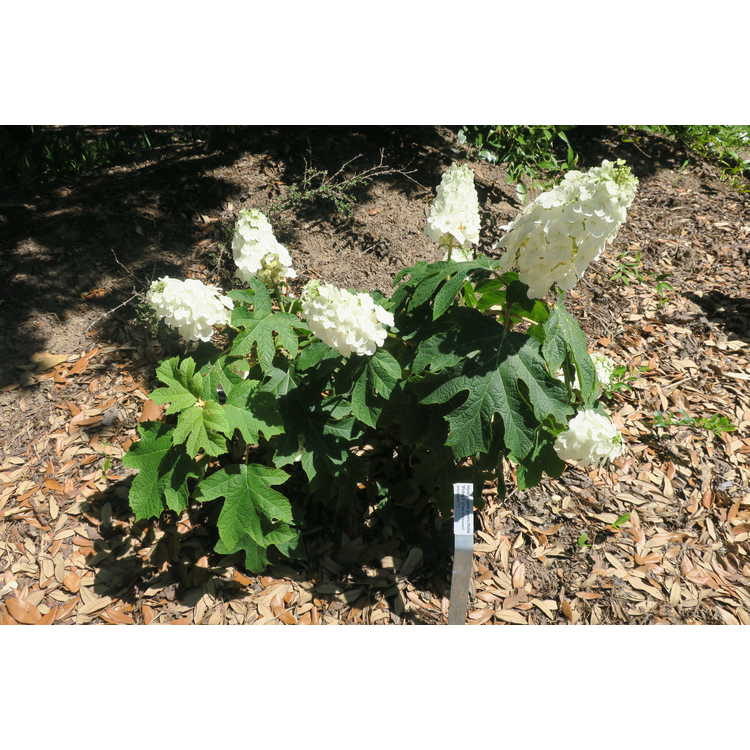 Hydrangea quercifolia Piihq-I First Editions Jetstream