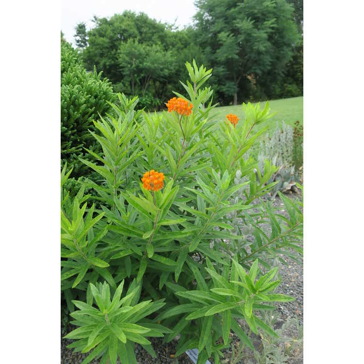 Asclepias tuberosa (orange-red) - butterfly weed