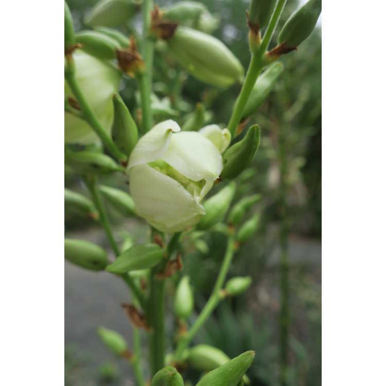 Yucca flaccida