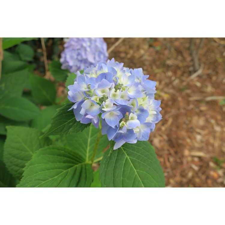 Hydrangea macrophylla 'Decatur Blue' - bigleaf hydrangea